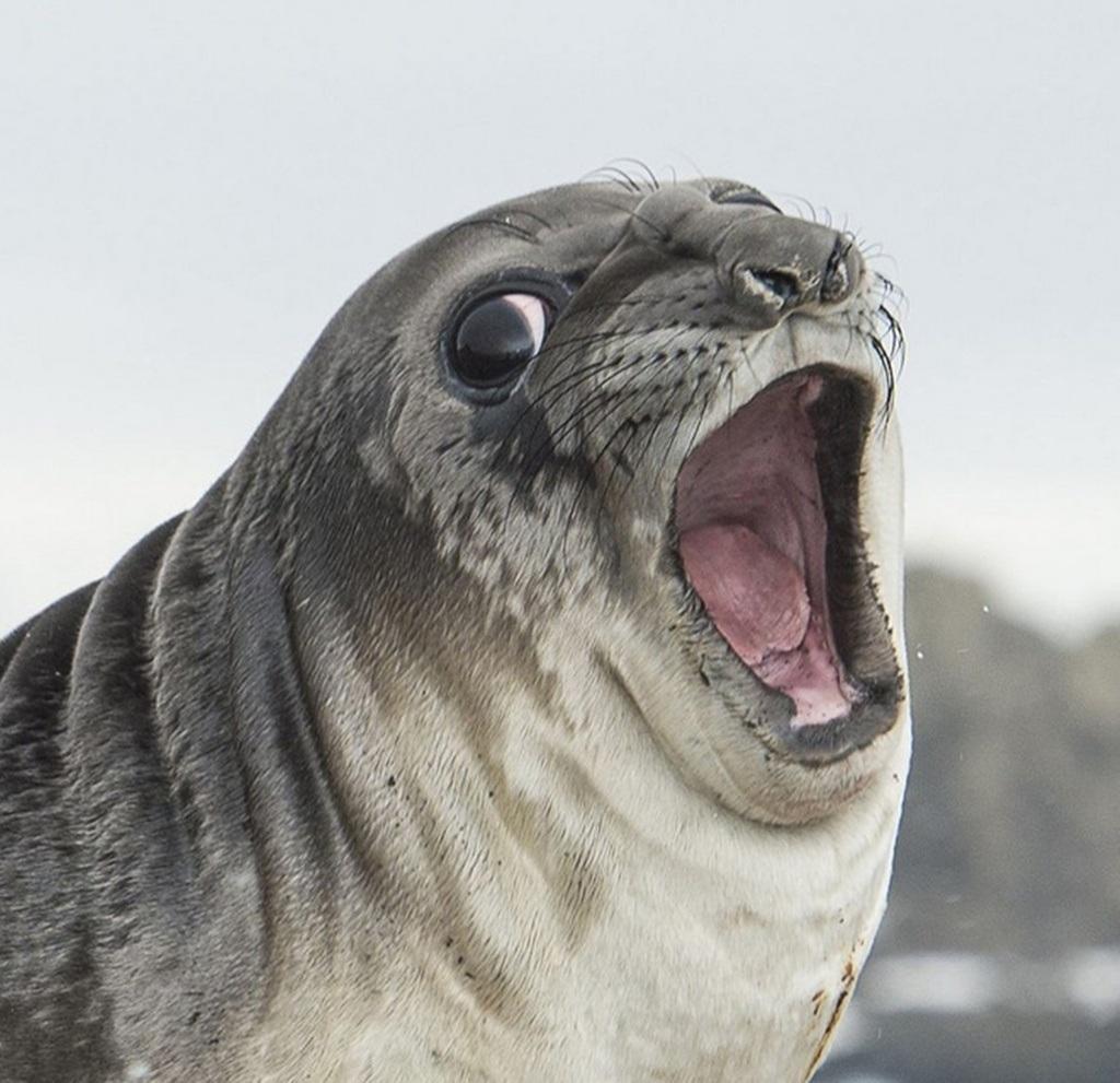 Cận cảnh vẻ mặt thảng thốt của hải cẩu voi.