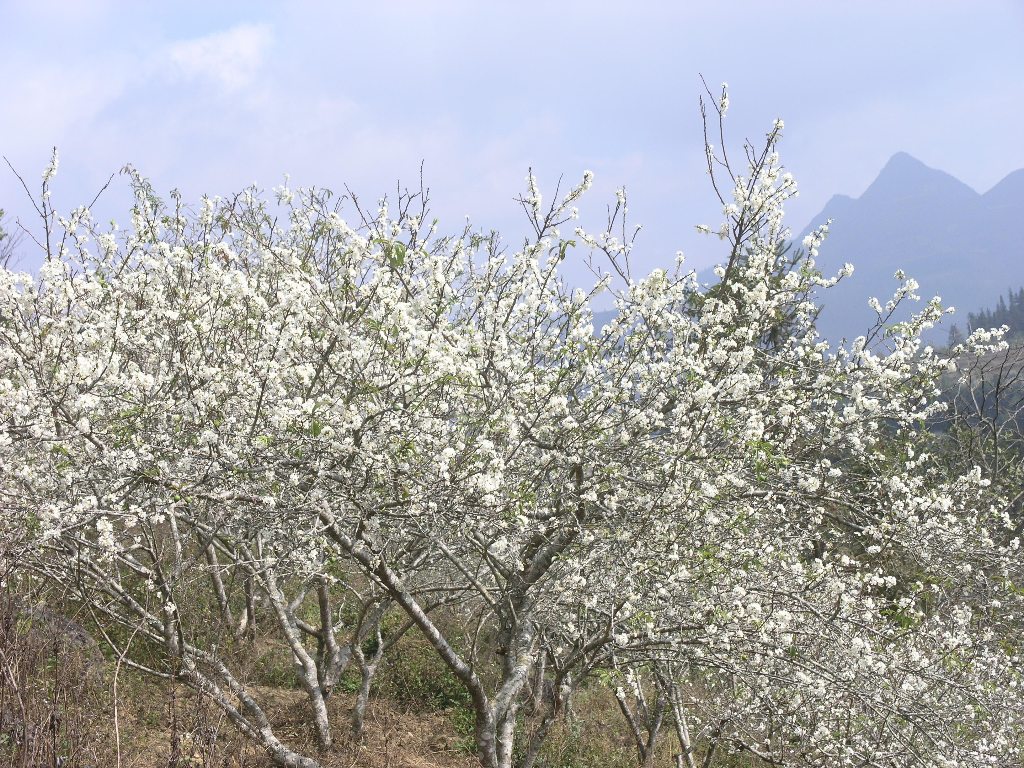 Hoa mận nở trắng cao nguyên Bắc Hà ngày giáp Tết