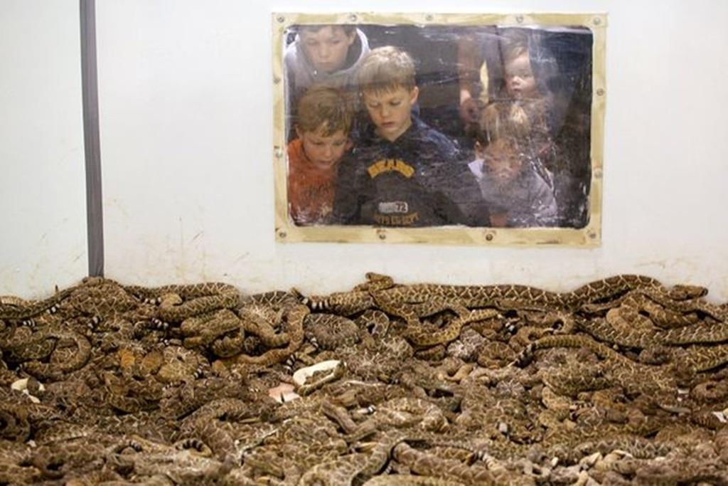Rắn đuôi chuông cũng là thủ phạm gây ra nhiều vụ tử vong ở Mỹ
