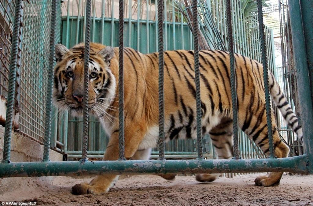 Hình ảnh oai vệ của chú hổ này vào năm 2007 khi sở thú mới mở cửa