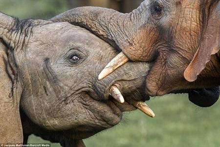 Khoảnh khắc ấm áp của đôi voi trẻ