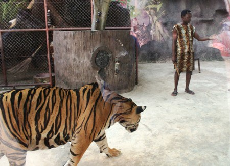 Khó tin với cảnh hổ nuôi lợn, người sống cùng hổ