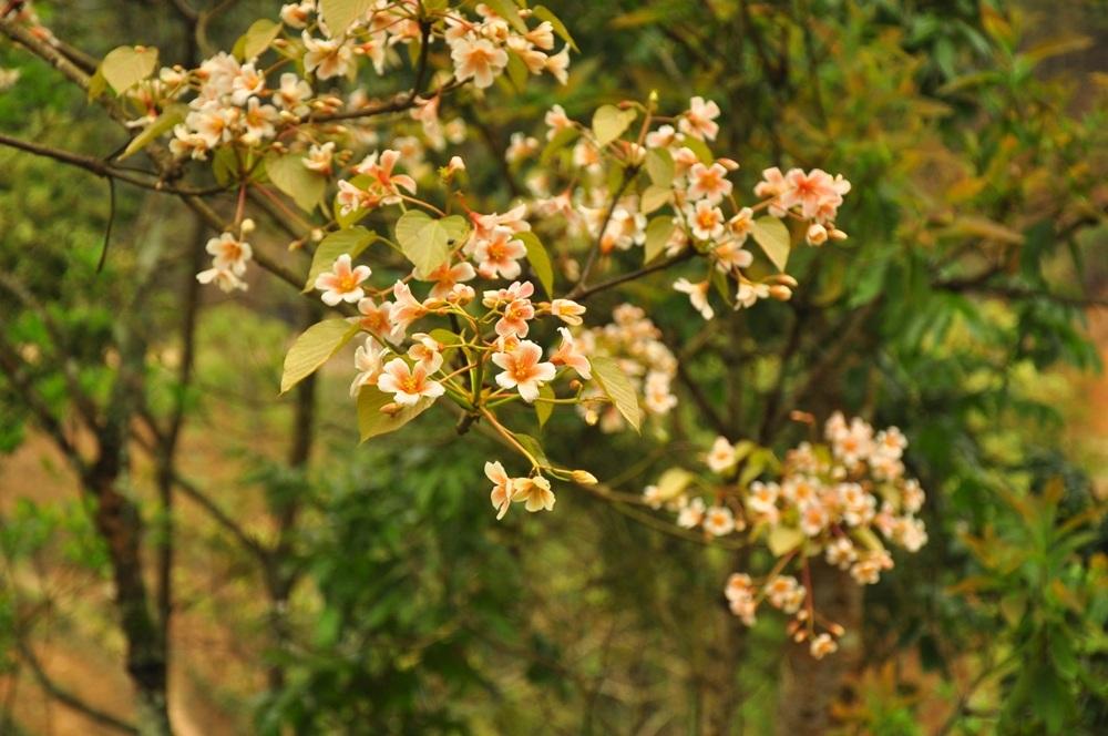 Hoa trẩu - loài hoa riêng của núi rừng Tây Bắc.