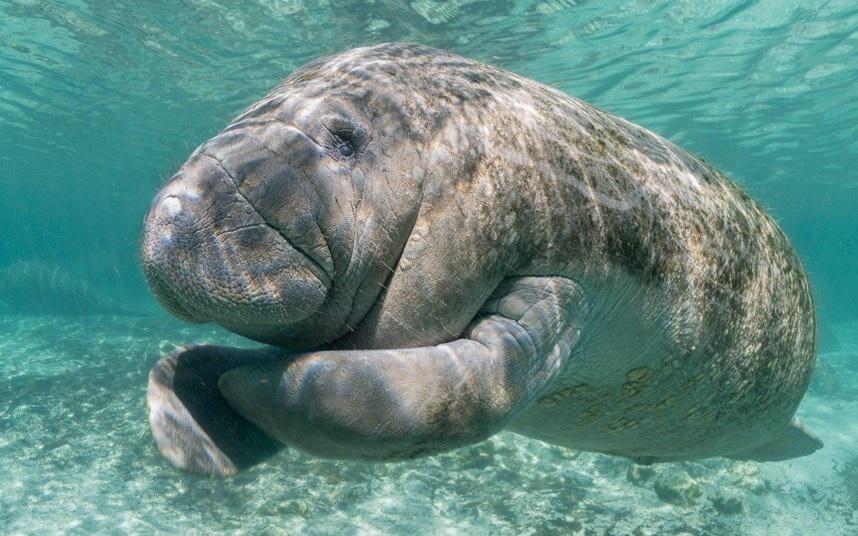 Chú lợn biển ở sông Crystal, Florida, Myhx. (Nguồn: Ellen Cuylaerts)