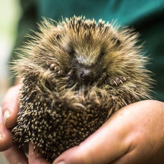Chú nhím tại một trung tâm bảo tồn động vật hoang dã Vương quốc Anh. (Nguồn: PA)
