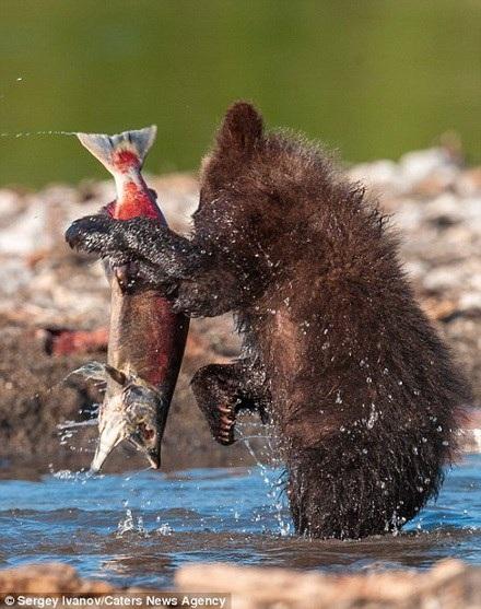 Chú gấu con bắt được con cá hồi lớn. (Nguồn: Caters News Agency)