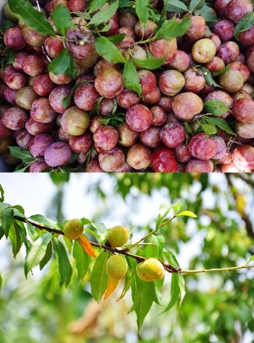 Những trái mận và đào là loài quả có vào đầu mùa hè, khoảng tháng 5 tháng 6.