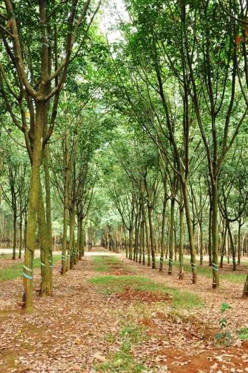 Từ phía Bảo Lâm, Bảo Lộc về Đà Lạt, bạn sẽ chạy xe qua rất nhiều cánh rừng café và cao su bạn ngàn.