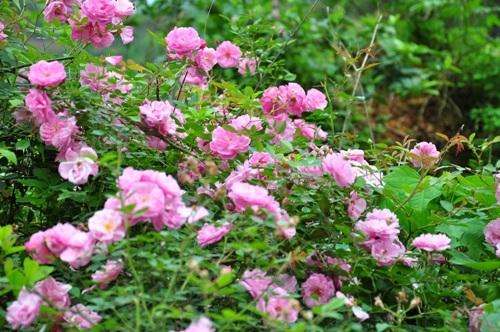 Hoa nở trên đường đến Trùng Khánh.