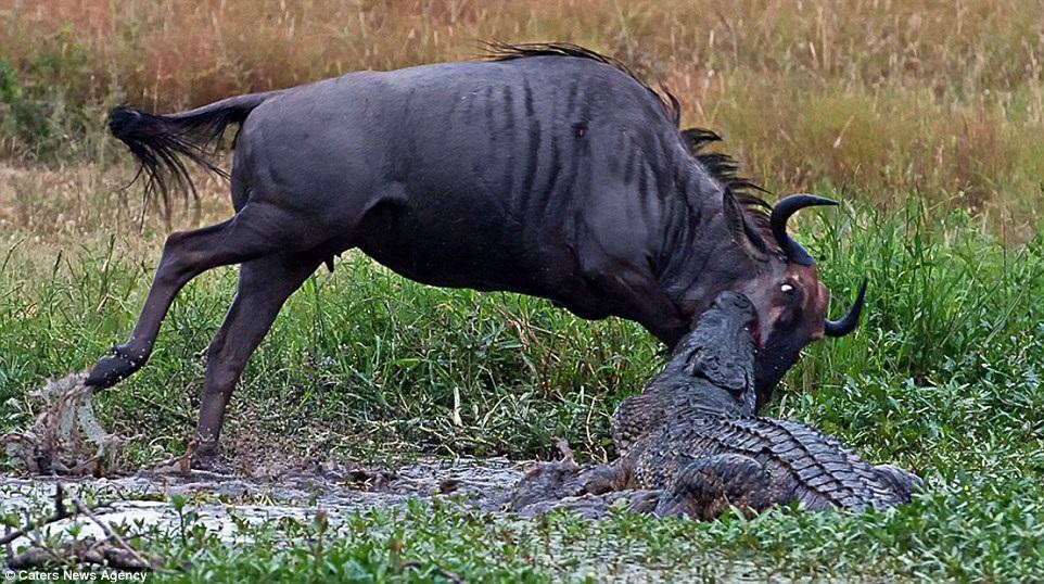 Cuộc chiến khốc liệt giữa cá sấu, linh dương đầu bò và hà mã