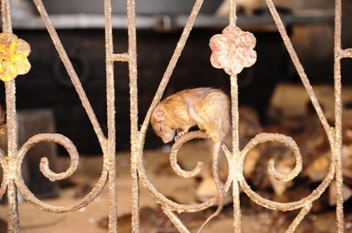 Ai cũng cố gắng chụp cho mình một tấm ảnh với những chú chuột, dù có người sợ đến phát khiếp.