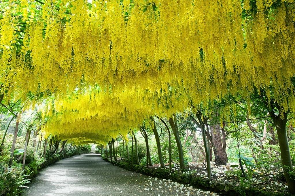 Hàng cây bạch quả ở Tokyo