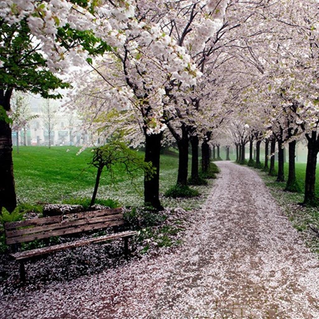 Những cây hoa anh đào nở rộ hoa phủ đầy lối đi trong công viên Spencer Smith ở Canada