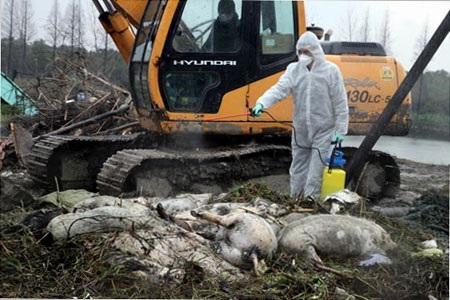 Xác lợn chết được vớt từ sông Hoàng Phố hồi tháng 3 - Ảnh: Xinhua.