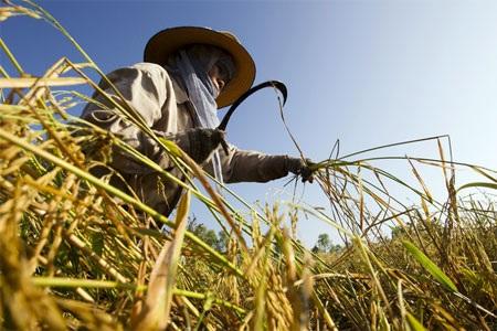 Thu hoạch lúa ở Thái Lan - Ảnh: