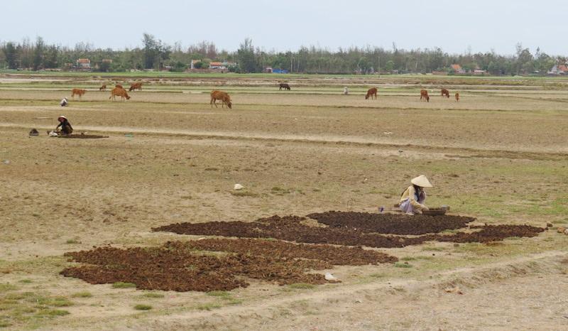 """Những phụ nữ đi """"mót"""" phân bò bỏ trong thúng gánh đến đám đất trống phơi khô để bán."""