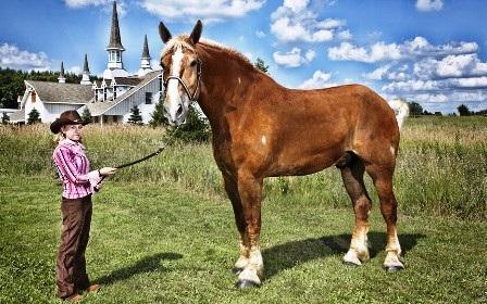 Chú ngựa cao nhất thế giới có tên