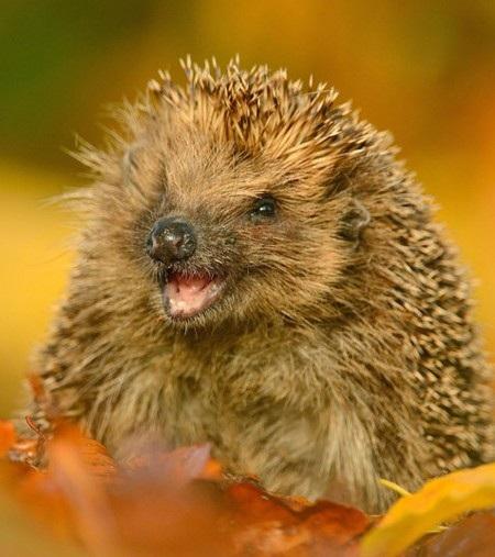 """Nhiếp ảnh gia thiên nhiên Ben Andrew đã chụp được khoảnh khắc thú vị khi một chú nhím """"mỉm cười""""."""
