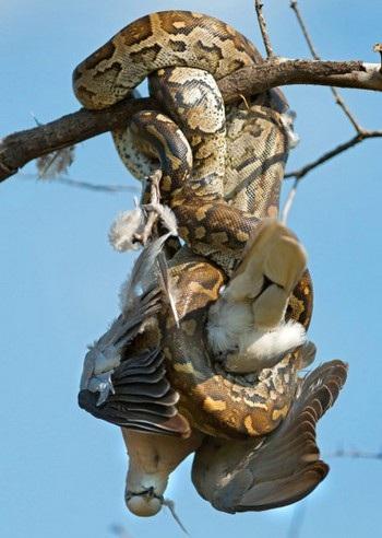 Chú chim bồ câu xấu số đã trở thành bữa ăn cho con trăn