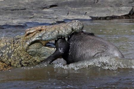 Một chú hà mã đang há miệng để ngáp tại Vườn quốc gia Chobe (Mozambique).