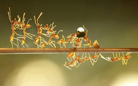 Những chú kiến đang hợp tác cùng nhau để di chuyển một giọt nước.