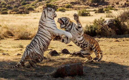 Khoảnh khắc 2 con hổ cái chiến đấu với nhau để tranh giành lãnh thổ.