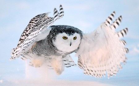 Một con cú tuyết đang sải cánh bay ở khu vực ngoại ô thủ đô Ottawa, Canada.