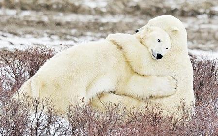 Một khoảnh khắc đáng yêu khi 2 chú gấu bắc cực chia sẻ một cái ôm.