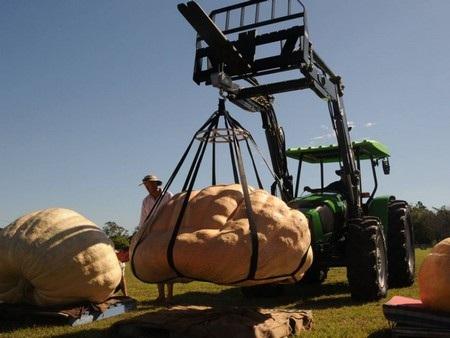 Xe nâng được sử dụng để di chuyển những trái bí khổng lồ