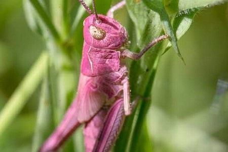 Bức ảnh châu chấu màu hồng với mắt màu vàng khác thường được Blazejewski chụp được
