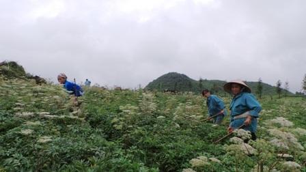 Vùng dược liệu tại tỉnh Hà Giang có triển vọng cung cấp đủ cho cả nước