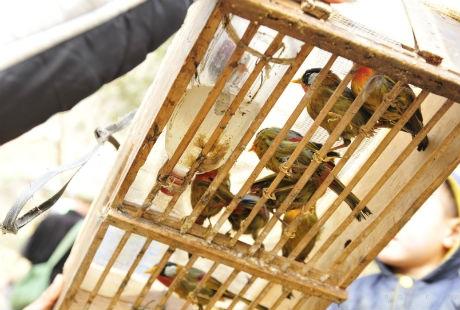 Chim ngũ sắc giá 100k/con. Các loài chim khác quý hiếm hơn giá có thể lên tới vài triệu.