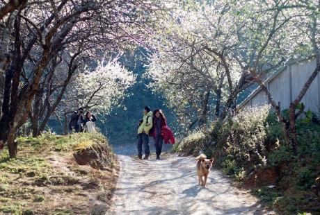 Mộc Châu luôn là địa điểm du dịch thu hút đông đảo khách sau dịp Tết