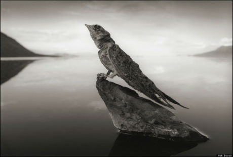 Chim yến bị vôi hóa