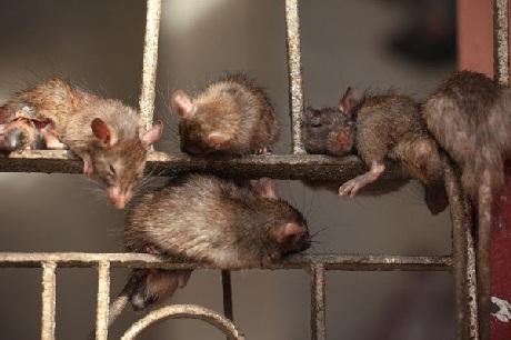 Chuột thoải mái ngủ trên chấn song cửa