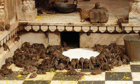 Những con chuột tại đây được cho ăn rất cẩn thận với đủ các loại hoa quả, thực phẩm khác