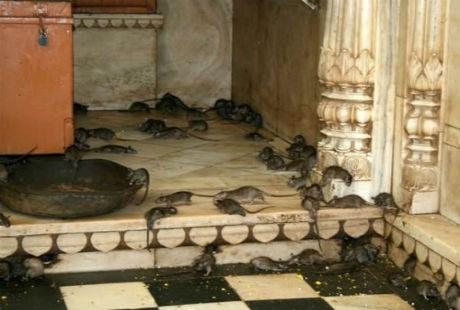 Hàng ngàn con chuột xuất hiện tại mọi nơi trong ngôi đền