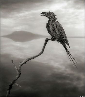 Chim sơn ca bị vôi hóa