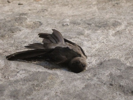Chim yến vẫn còn chết nằm rải rác xung quanh rạp Thanh Bình