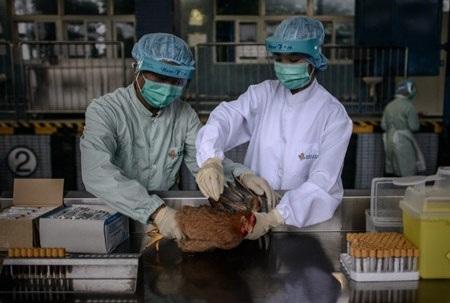 Nhân viên y tế Hồng Kông đang kiểm tra gà nhập khẩu từ Trung Quốc