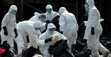 Cho gà chết vào túi để mang đi tiêu hủy tại Hồng Kông ngày 28/1/2014. (AFP/Philippe Lopez)