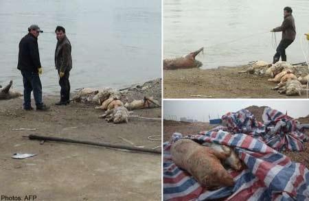 Những xác lợn chết xếp thành hàng trên bờ sông.