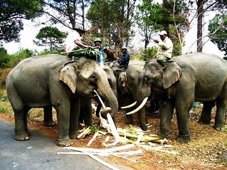 Phần lớn voi nhà Đắk Lắk thường được chữa bệnh bằng cây lá trong rừng sau khi bị mắc bệnh.
