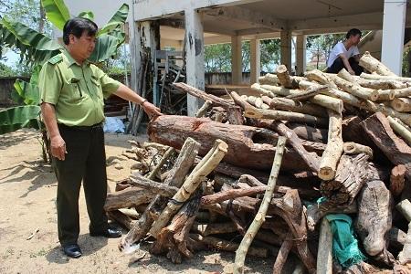 Lực lượng kiểm lâm đang tăng cường truy quét, truy bắt người dân khai thác gỗ trắc dây trái phép.