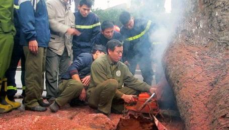 Lực lượng chữa cháy phải khoét 1 hốc lớn dưới gốc cây.