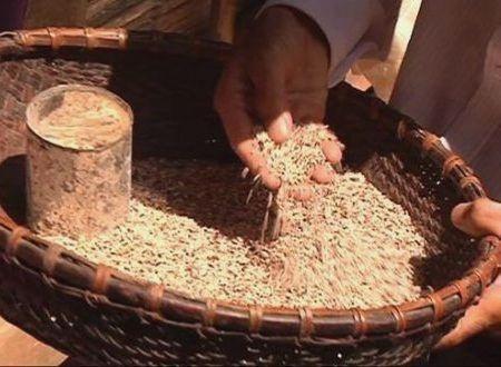 Hạt gạo có màu sẫm và mốc như thế này được kiểm nghiệm hàm lượng aflatoxin cao hơn quy định.