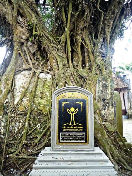 Sanh đại thụ hơn 200 tuổi ở đền Lưu Xá được công nhận
