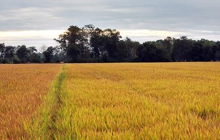 Vùng đất chết nay đã trở thành vựa lúa lớn của cả nước