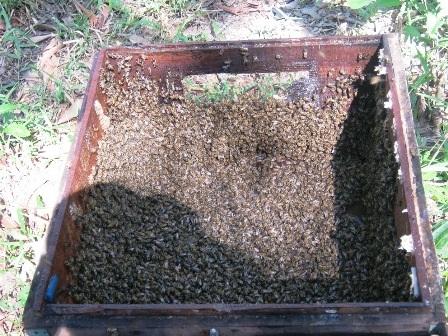 Độc đáo nghề đưa ong đi... tìm mật - 7