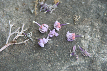 Cận cảnh hoa Ngô đồng